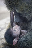 Olive Baboon baby. An infant olive baboon being cuddled by his mother Royalty Free Stock Photography