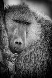 Olive baboon Royalty Free Stock Images