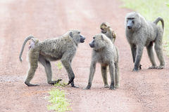 Olive baboon communicating Stock Images