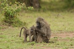 Olive Baboon de-fleaing a Cub Royalty Free Stock Photos