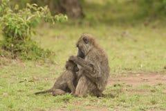 Olive Baboon de-fleaing a Cub Stock Photography