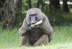 Olive baboon eating corn. Royalty Free Stock Photo