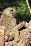 Olive baboon eating a sausage tree fruit Kigelia. A olive baboon, Papio Anubis, is eating a sausage tree fruit, Kigelia africana Royalty Free Stock Image