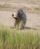 Olive Baboon eating Royalty Free Stock Images