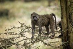Olive Baboon en un árbol de fiebre en el lago Nakuru Kenya Africa imagen de archivo