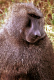 Olive baboon, Lake Nakuru, Kenya royalty free stock photography