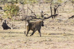 Olive Baboon. Large olive baboon in the Masai Mara Royalty Free Stock Images