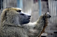 Olive baboon leaning in Qingdao habitat, China stock image