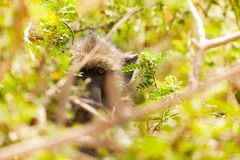 Olive baboon looking through bushes branches. Olive baboon looking through bushes` branches in African woodland royalty free stock photos