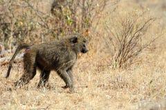 Olive baboon in Masai Mara National Park of Kenya Stock Images