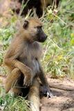 Olive baboon in Masai Mara National Park of Kenya Stock Photos