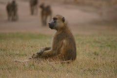 Olive Baboon maschio fissante Immagini Stock Libere da Diritti