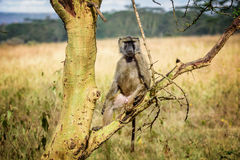 Olive Baboon monkey in Kenya, Africa.  royalty free stock photography