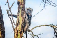 Olive Baboon monkey in Kenya, Africa. Olive Baboon monkey in Masai mara Game resort, Kenya, Africa stock photography