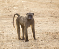 Olive Baboon. An Olive Baboon monkey in Murchison Falls National Park in Uganda, Africa stock image