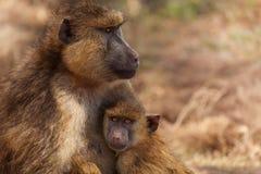 Olive Baboon-Mutter mit Baby, Kenia, Afrika Stockbild
