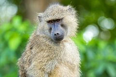 Olive Baboon, old world monkey with olive green coat with blurred Bokeh background in Tanzania, East Africa. Closeup face of Olive Baboon, old world monkey with stock photos