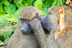 Olive Baboon, old world monkey with olive green coat looking for bug in Tanzania, East Africa. Olive Baboon, old world monkey with olive green coat looking for royalty free stock photos