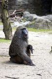 Olive Baboon,Papio anubis Stock Photography