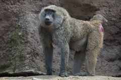 Olive baboon Papio anubis. Stock Photos