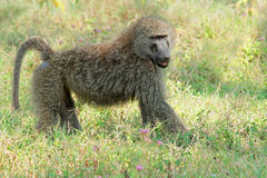 Olive baboon. An olive baboon (Papio anubis), Lake Nakuru National Park, Kenya royalty free stock photos