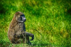 An olive baboon (Papio anubis) Royalty Free Stock Photo