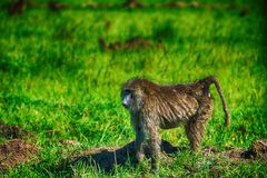 An olive baboon (Papio anubis) Stock Image