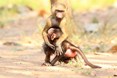 Olive Baboon. (Papio anubis) in Mole National park, Ghana, West Africa Stock Photo