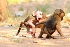 Olive Baboon. (Papio anubis) in Mole National park, Ghana, West Africa Stock Images