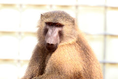Olive Baboon. (Papio anubis) in Mole National park, Ghana, West Africa Royalty Free Stock Images