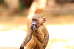Olive Baboon. (Papio anubis) in Mole National park, Ghana, West Africa Stock Photography