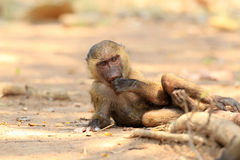 Olive Baboon Royalty Free Stock Photography