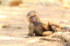 Olive Baboon. (Papio anubis) in Mole National park, Ghana, West Africa Royalty Free Stock Photos