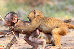 Olive Baboon. (Papio anubis) in Mole National park, Ghana, West Africa Royalty Free Stock Image