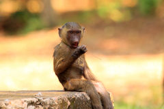 Olive Baboon. (Papio anubis) in Mole National park, Ghana, West Africa Stock Image