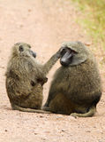 Olive Baboon (Papio anubis) Royalty Free Stock Photo