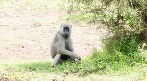 Olive Baboon Papio anubis Sitting in the Shade on the Serengeti in Tanzania Royalty Free Stock Images
