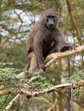 Olive baboon sitting in acacia tree Royalty Free Stock Photos