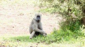 Olive Baboon Papio anubis som sitter i skuggan på Serengetien i Tanzania Royaltyfria Bilder