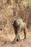 Olive Baboon. On patrol. Old world monkey, Serengeti, Tanzania, Africa royalty free stock photo
