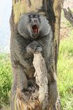 Yawning Olive Baboon Stock Photo