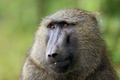 Olive Baboon Portrait Arkivfoto