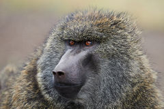 Olive baboon. Portrait in Ethiopia Royalty Free Stock Photos