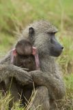 Olive Baboon protecting its Cub Stock Photography