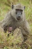 Olive Baboon protecting its Cub Stock Photos