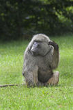 Olive baboon scratching. Stock Image