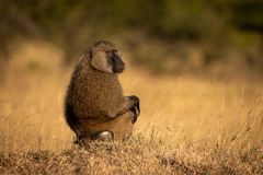 Olive baboon sits in grass looking round royalty free stock photos