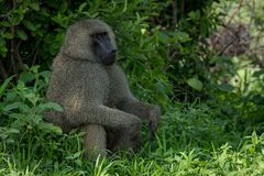 Olive baboon sits with hands on knees stock photos