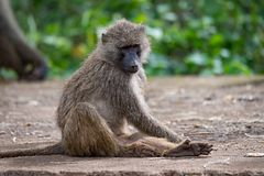 Olive baboon sitting on wall looking down stock image