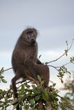 Olive Baboon on the tree Royalty Free Stock Photos